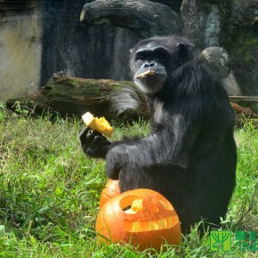 Taipei Zoo Celebrating Halloween with Pumpkins for Animals
