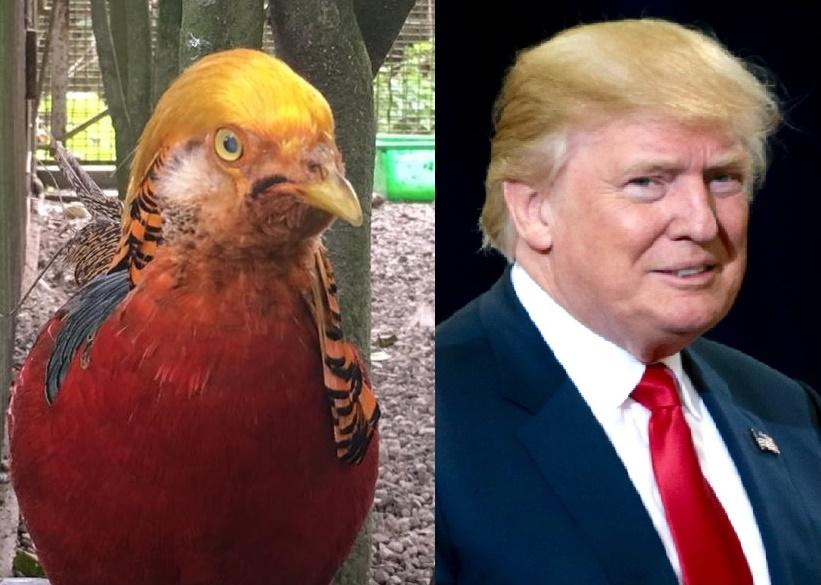golden-pheasant-trump-chicken-donald-us-president-elect