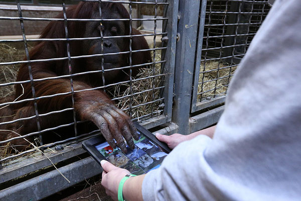 Apes  iPad introduced to orangutans with 'App for Apes' project 13