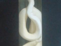 Salamanta / Jibóia Vermelha