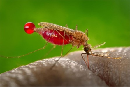O mosquito Anopheles gambiae (fonte: CDC/ James Gathany)