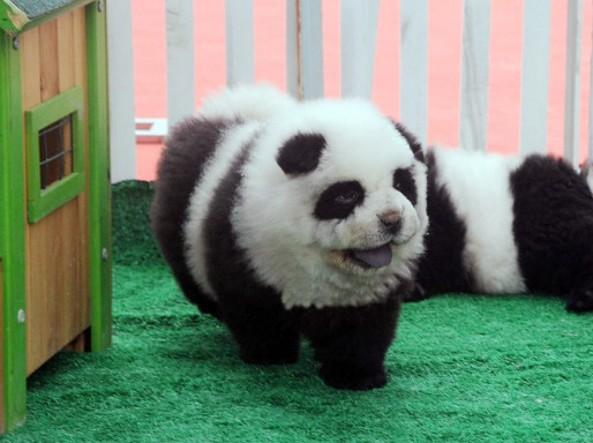 Perché  il Chow Chow  panda non esiste