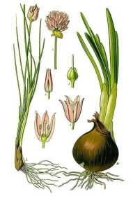 Chives, Onion's Little Brother