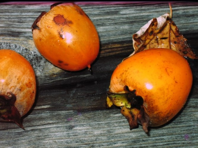 Indiana Persimmons
