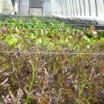 High Tunnel Lettuce Greenhouses