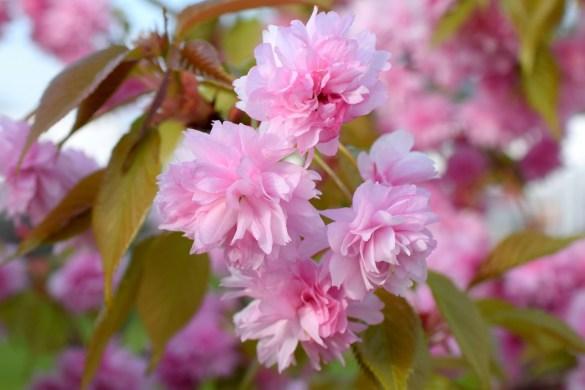 Frühling-Japanische-Zierkirsche-3