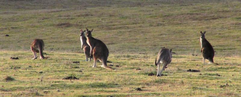 Kænguruer, australien, outback, ingen destination