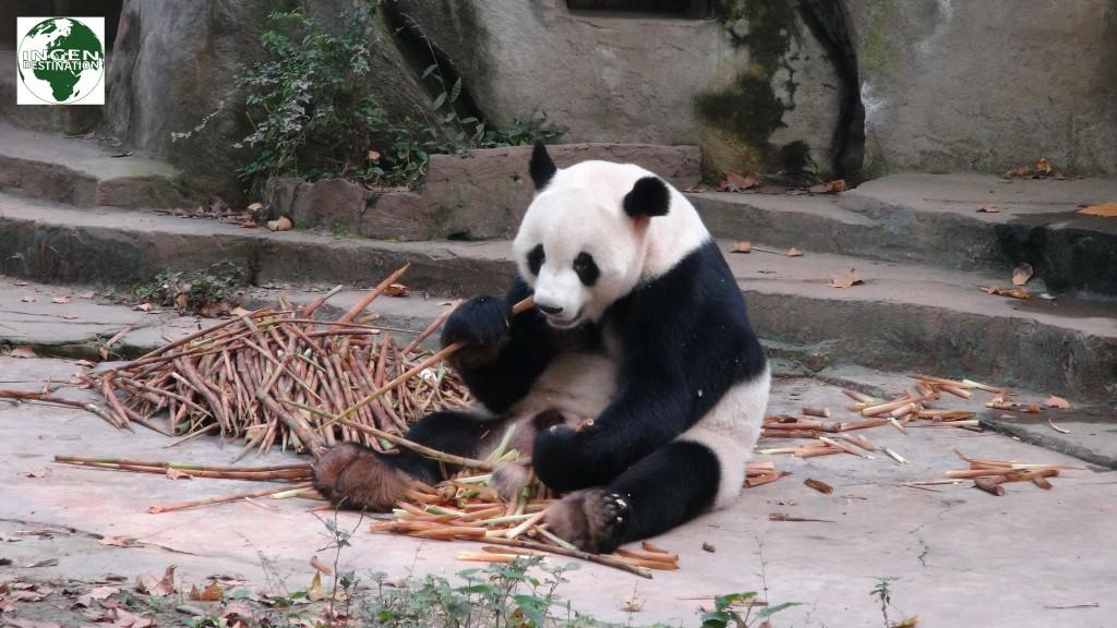 Det store Panda Reservat i Chengdu
