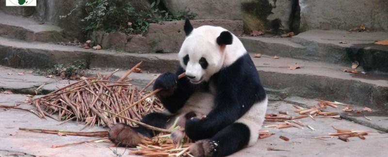 Chengdu, panda, kina