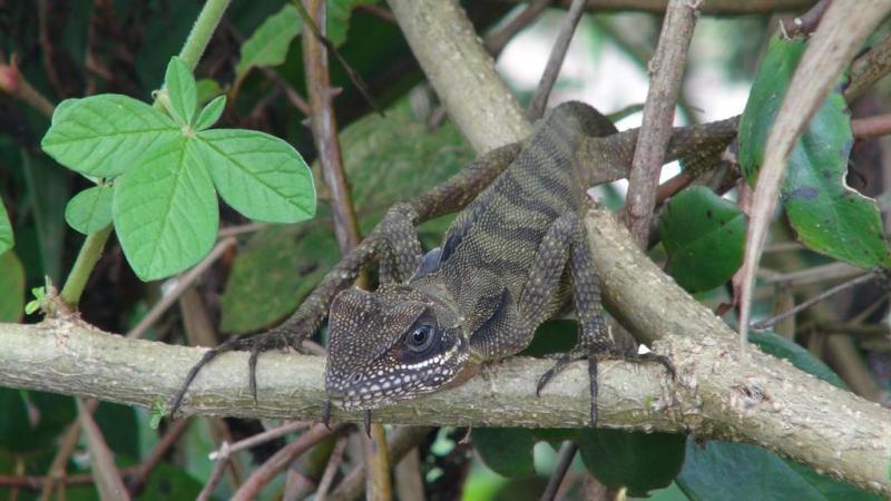 Cameron highlands, malaysia, trekking, hiking, til fods, gekko