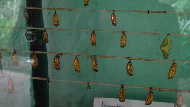 Bohol, filippinerne, sommerfugle park, puppe