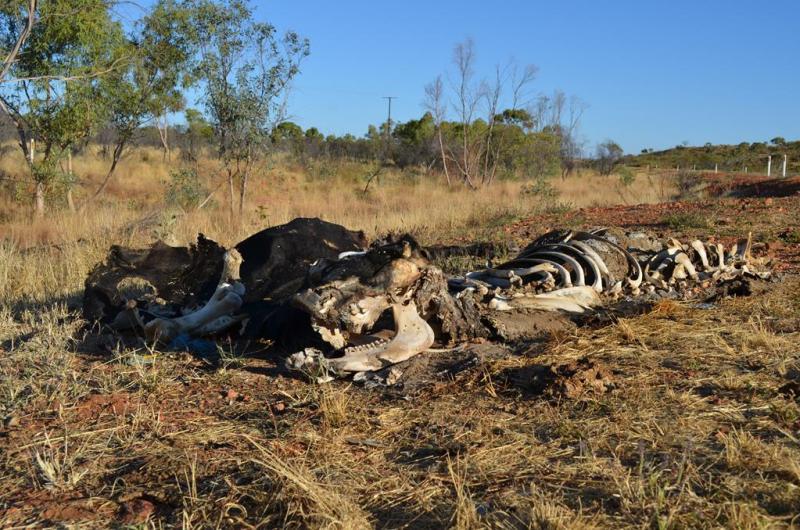 Ud over selvfølgelig disse meget almindelige syn i bushen.. Her to køer, nok dræbt af lastbiler.