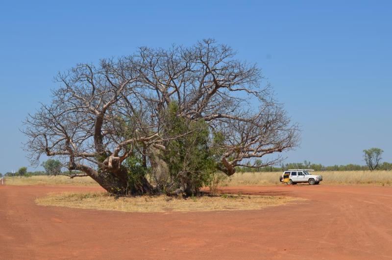 Et af de specielle Boab træer.