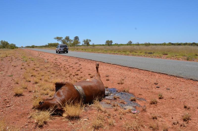 Endnu en ko har tabt kampen til et roadtrain!