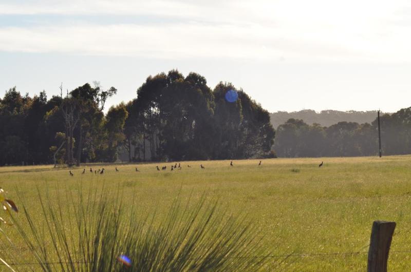 Kænguruer fra morgenstunden!