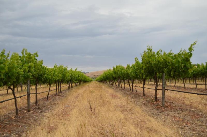I Barossa valley er der vinmarker uanset i hvilken retning du drejer hovedet.