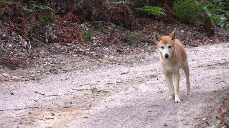 De vilde dingoer ser søde ud, men er altså vilde og potientielt farlige dyr.