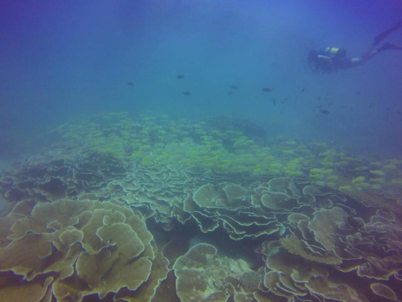 Flotte kål-lignende koraller