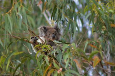 Australien, koala, eucalyptus