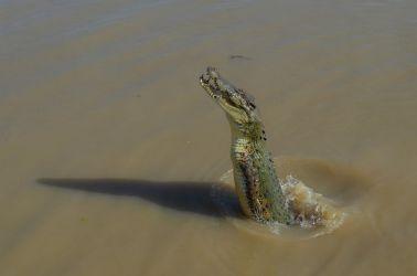 Australien, croc, jumping, krokediller, vildt