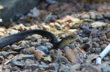 Australien, snake, slange, vildt
