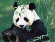panda-fb