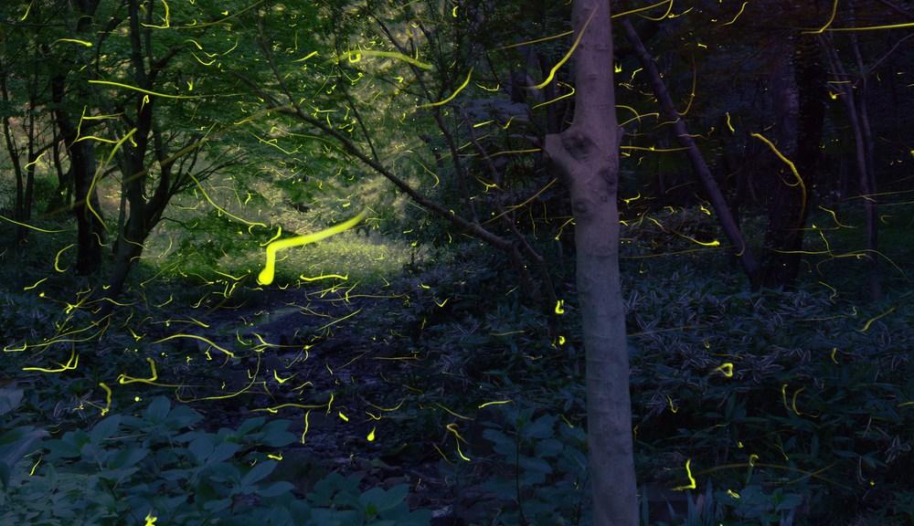 Synchronized Smoky Mountains fireflies at Elkmont