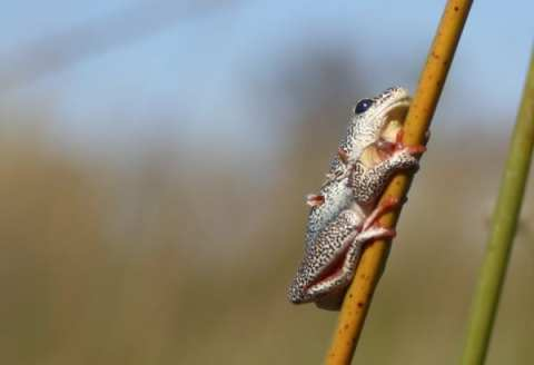 Close up of African Frog on a Mokoro Safari in the Okavango Delta