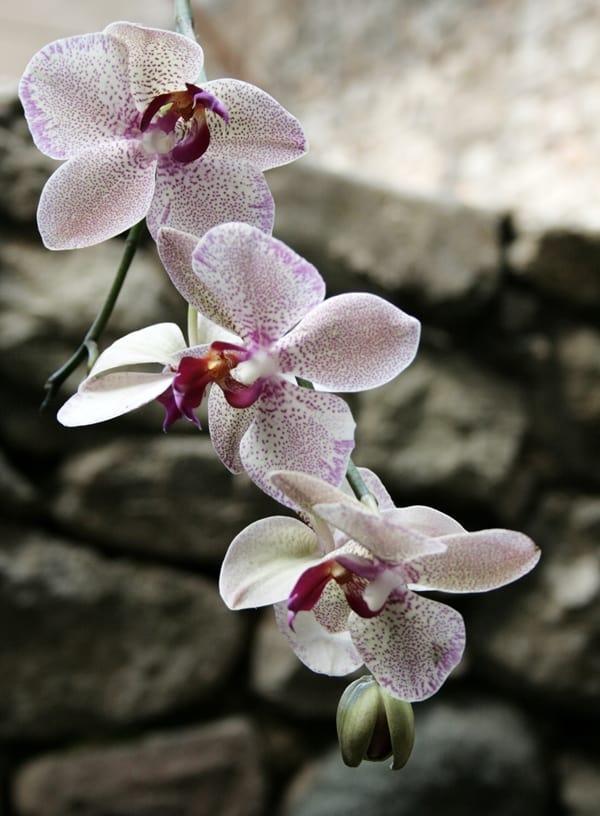 Orchids in Girona's Temps de Flors