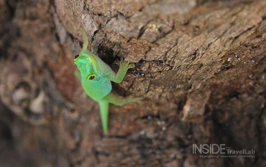 Desroches Lizard - photos in green