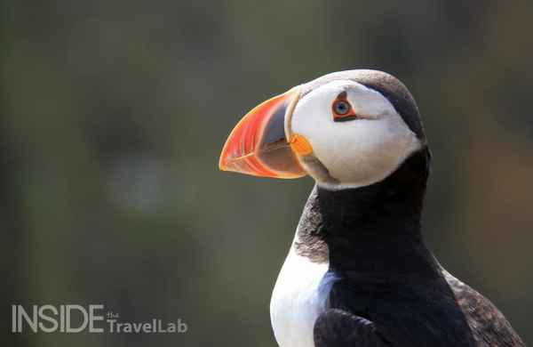 Seeing wild puffins on Skomer Island during a short break in Pembrokeshire from @insidetravellab