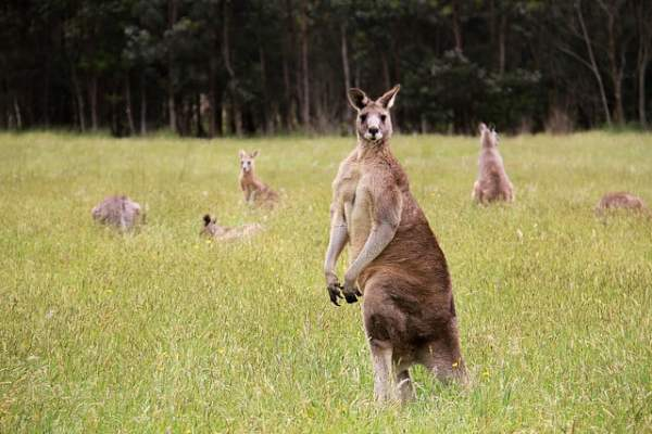 Cute photos of kangaroos