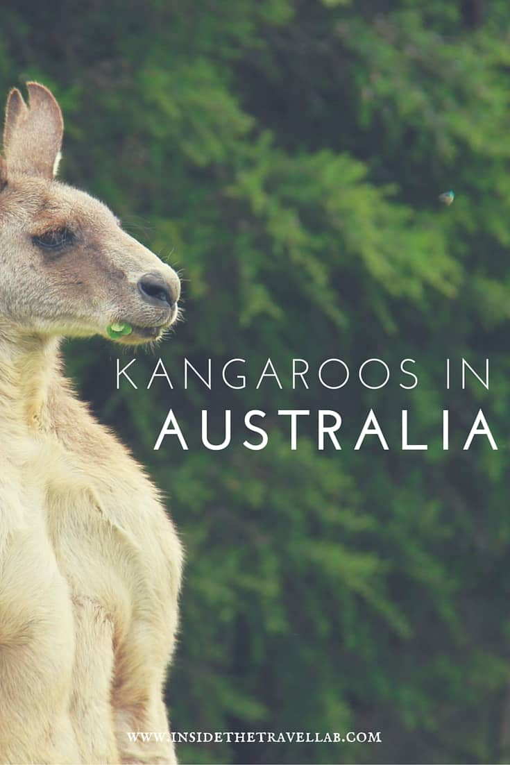 Highlights of Australia. I realised that the important thing, the part you all want to see when it comes to my liaisons in the long wet grass that surrounds the Great Ocean Road are the kangaroos. The cute kangaroos. The photos of the cute kangaroos. - via @insidetravellab