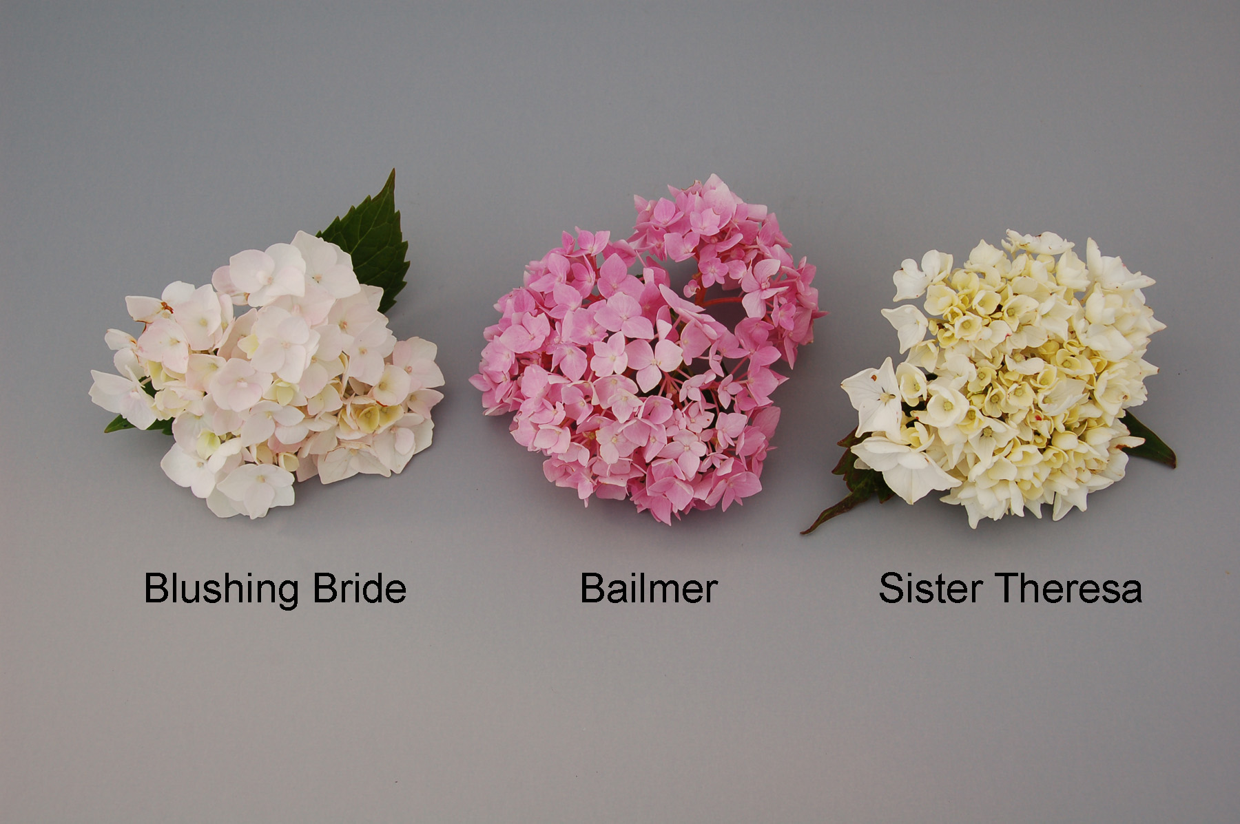 Perky With Reference Varieties Canadian Food Inspection Agency Blushing Bride Blushing Bride Hydrangea Winter Care Blushing Bride Hydrangea Near Me houzz 01 Blushing Bride Hydrangea
