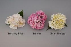 Small Of Blushing Bride Hydrangea