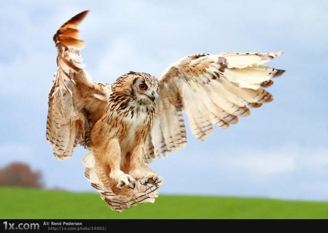 Bengal Eagle Owl II