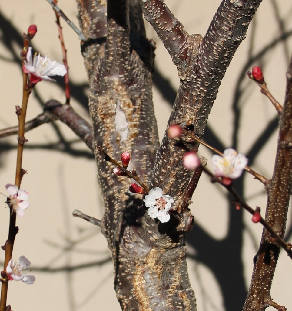 flowering apricot tree_blog