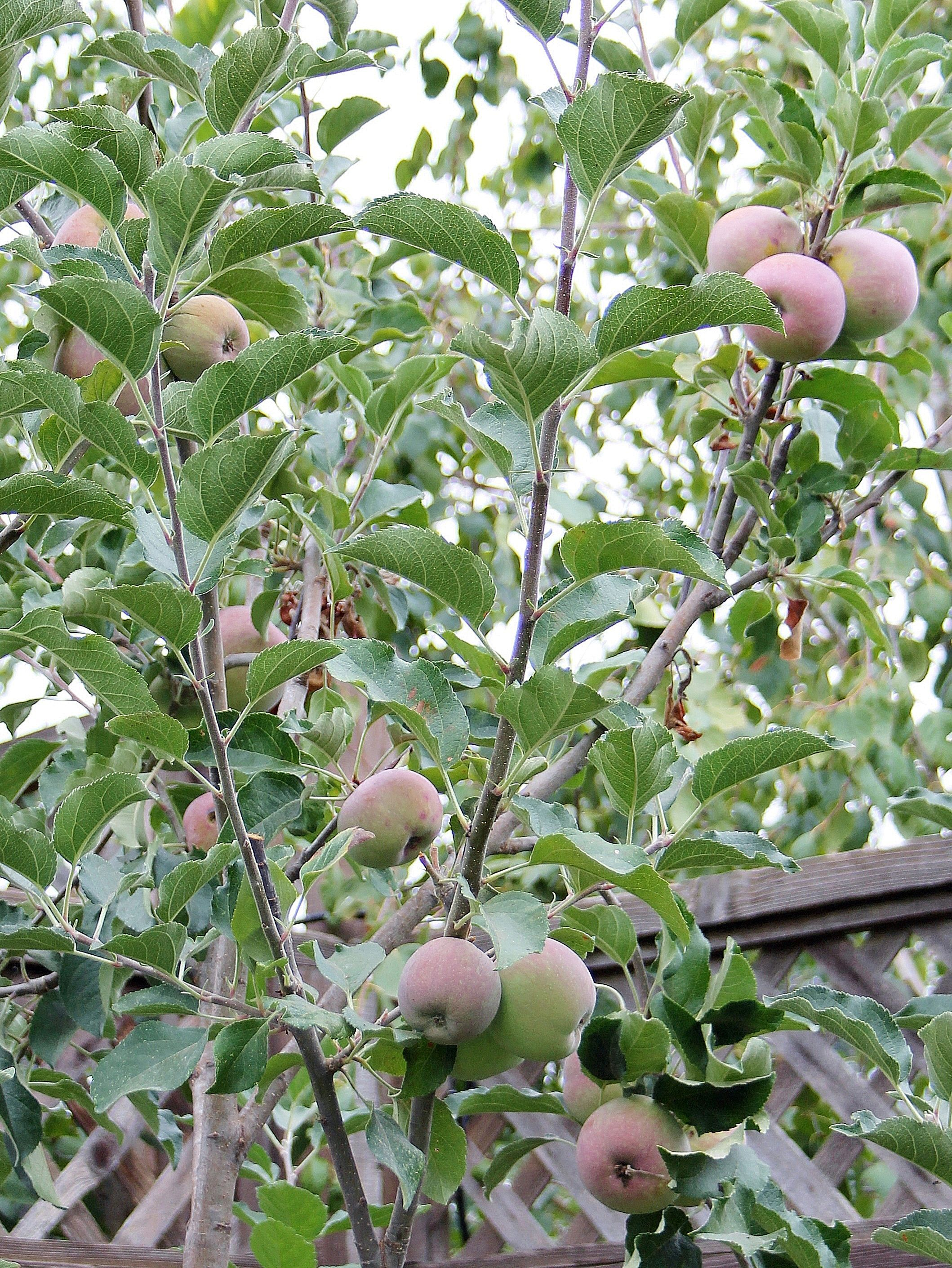 fruiting-apple-tree