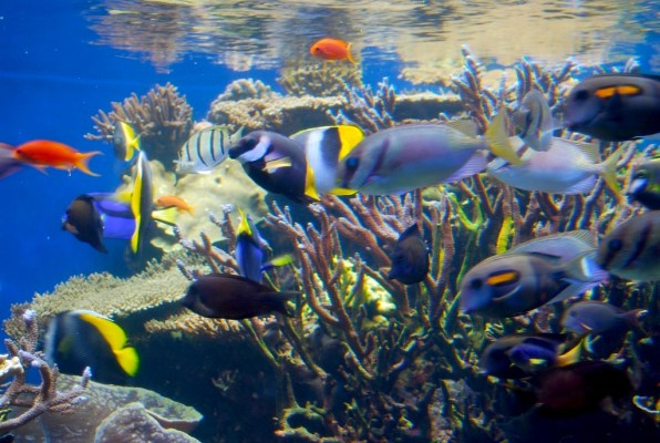 The coral reef ecosystem is home to fish who cooperate, cheat, punish, and reconcile in displays of cognitively advanced behavior, according to recent research.