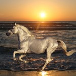 Horses Photography-white-horse-at-the-beach-