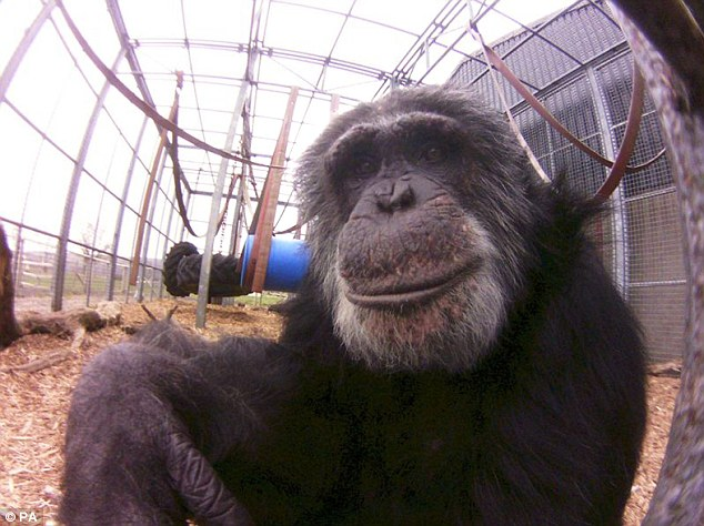 'Element of surprise': A photograph of a chimpanzee taken with the Lofi Fish-eye camera