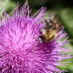 bee on thistle 3 P