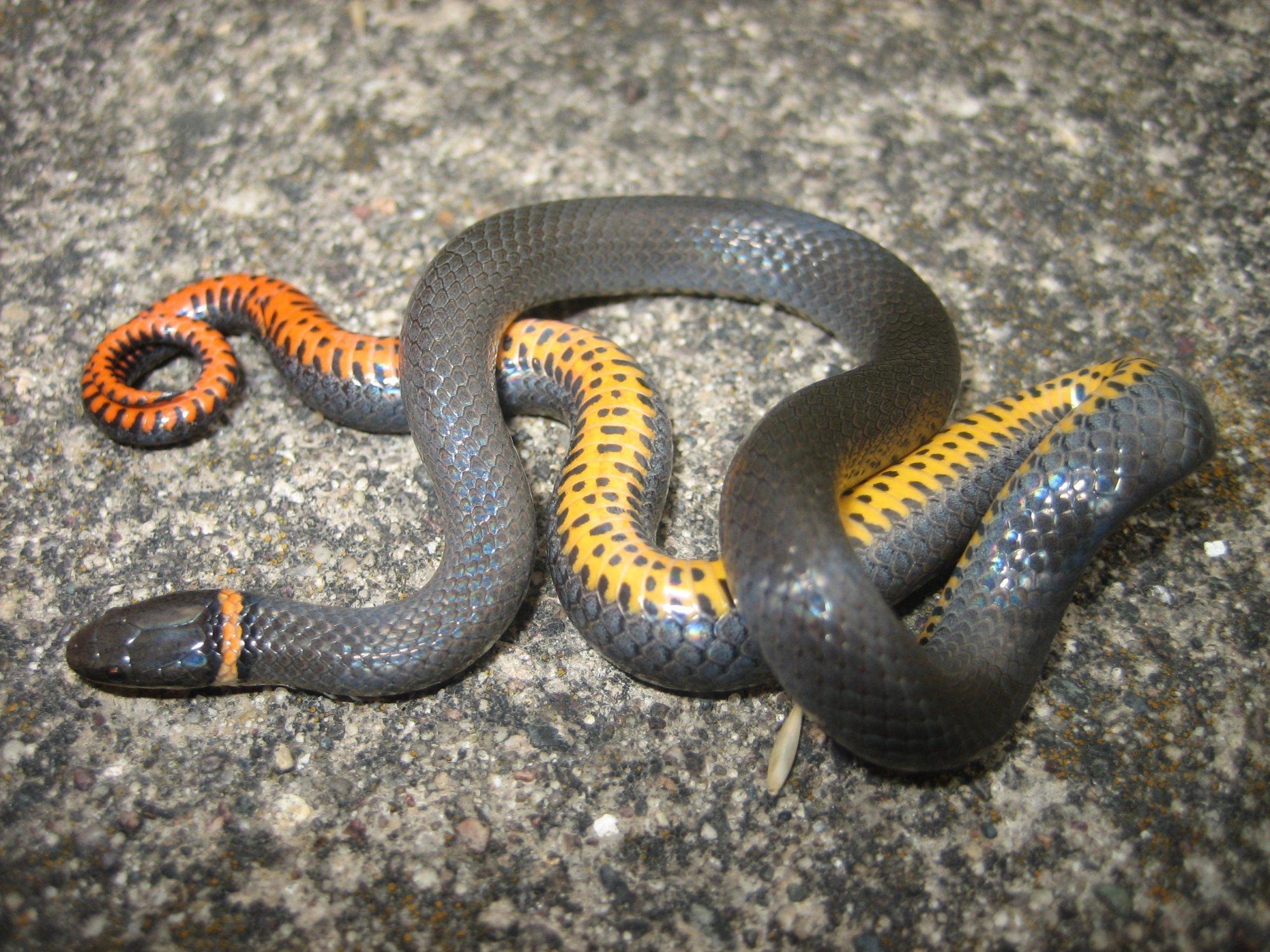 Mutable Iowa Baby Black Snake Bite Baby Black Snake Vs Baby Copperhead Prairie Ringneck Snake Diadophis Punctatus Arnyi Snakes houzz 01 Baby Black Snake