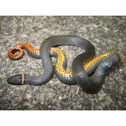 Small Crop Of Baby Black Snake
