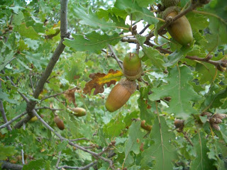 quercus-pubescens
