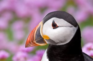 Puffin by Dec Roche