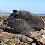 Stranded Sperm Whale Carcass, Fermoyle