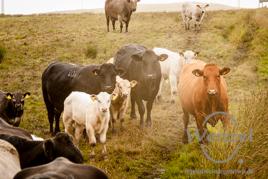 Halbinsel  Rhinns of Galloway – Rinderherde schaut  neugierig in die Kamera