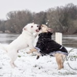 Hunde toben im Schnee