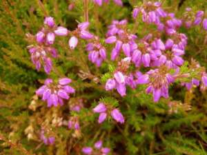 Irish Heather